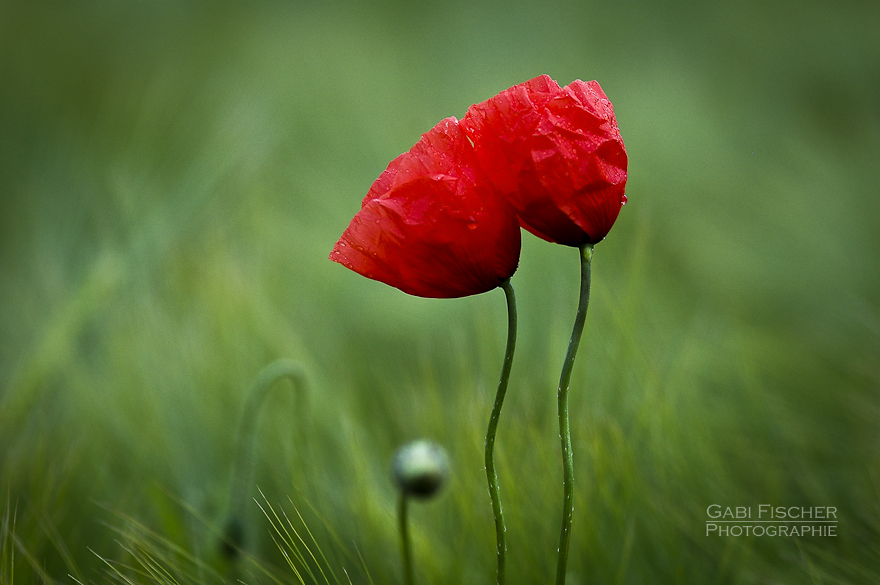 Together - Mohn - Makrofotografie